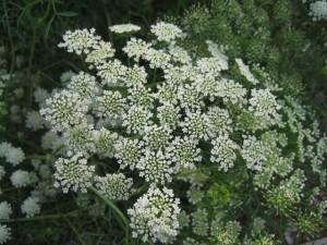 fleurs d'été: Ammi Majus