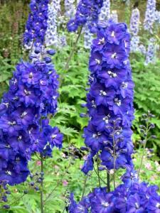 fleurs d'été: delphinium bleu