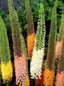 fleurs d'été: eremurus