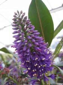 fleurs d'été: véronique bleue