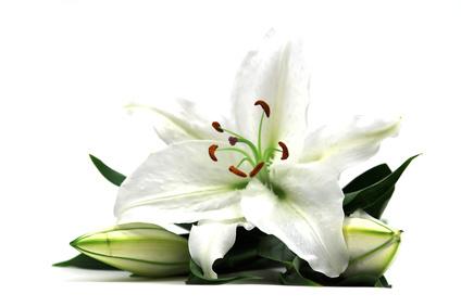 le lys blanc la symbolique de la fleur de lys le blog fleursinfo. Black Bedroom Furniture Sets. Home Design Ideas