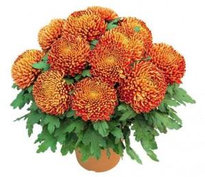chysanthèmes de Toussaint: chrysanthème orange à grosses fleurs