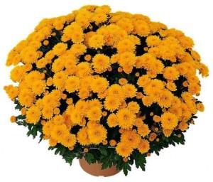 chysanthèmes de Toussaint: chysanthème jaune