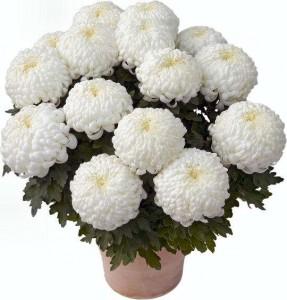 chysanthèmes de Toussaint: chrysanthème blanc