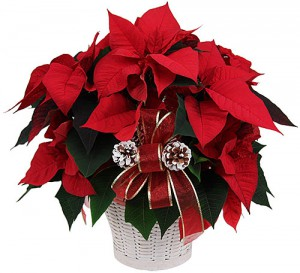 bouquetsde noël: poinsettia rouge