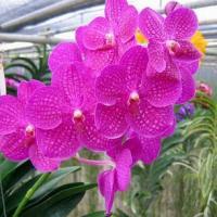 orchidee vanda rose