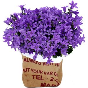 plante fleurie fête des mères campanule violette