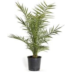 palmier phœnix