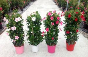 plantes fleuries dipladenias