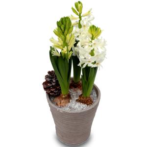 Noël en fleurs: jacinthes de noël blanches