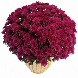chrysanthème à petites fleurs prune