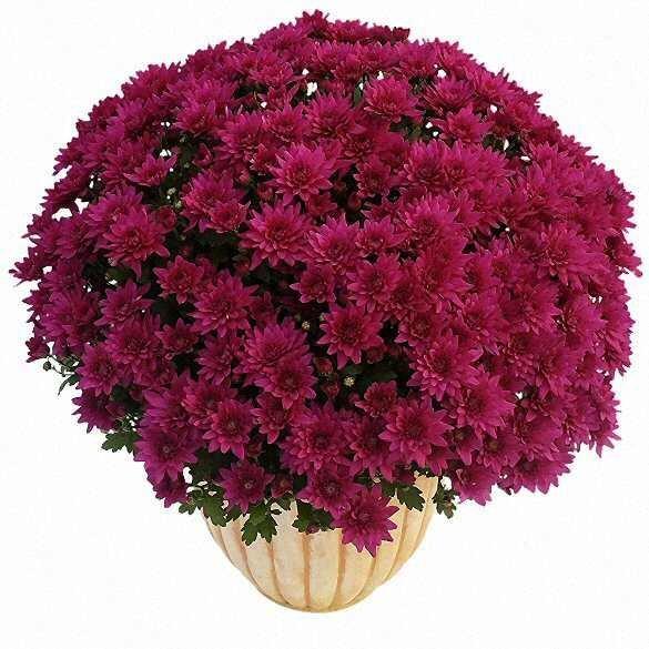 Fleurs deuil plantes fleuries pour le cimeti rele blog - Noms de fleurs et plantes ...