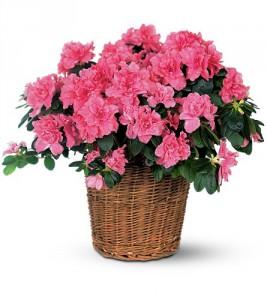 plante fleurie azalée