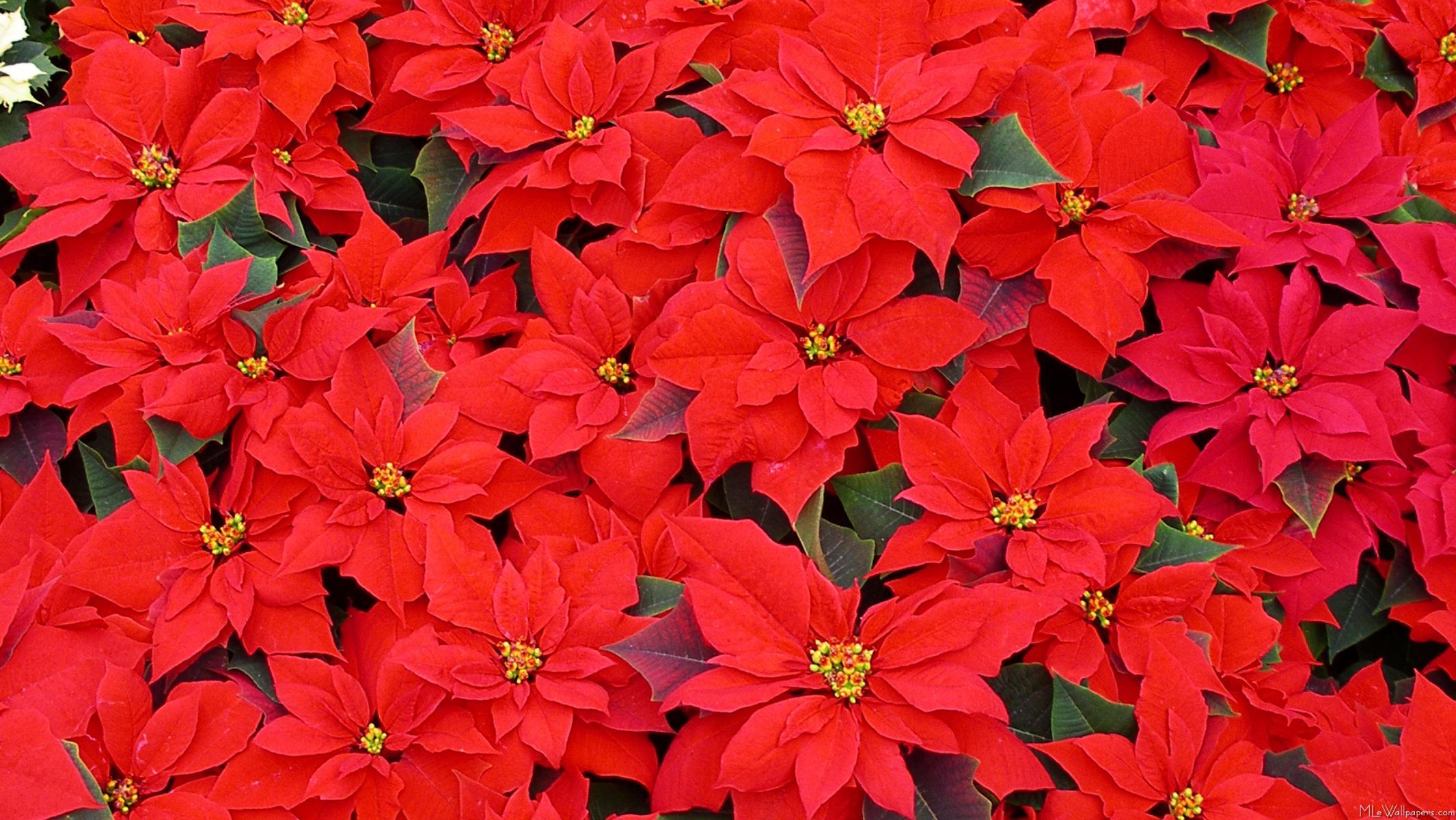 Le Poinsettia L Etoile De Noel Et Les Legendes Mexicainesle Blog