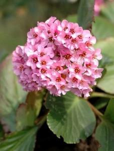 bergénia à fleurs roses