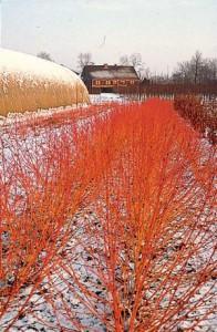 fleurs deuil: cornouiller rouge