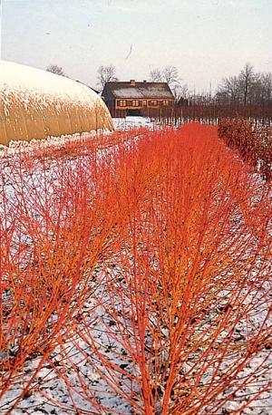 fleurs deuil plantes et arbustes rustiques pour jardins d 39 hiverle blog fleursinfo. Black Bedroom Furniture Sets. Home Design Ideas