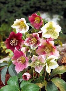 fleurs deuil: roses de Noël