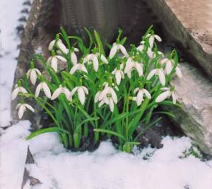 fleurs d'hiver perce-neige