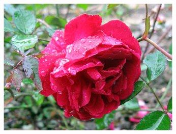 fleurs saint valentin: rose de Chine