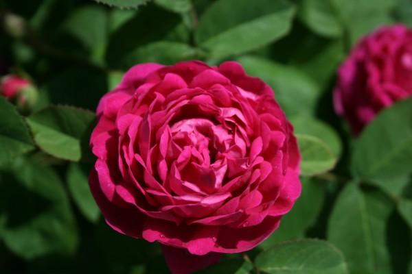 fleurs saint valentin: rose de Damas