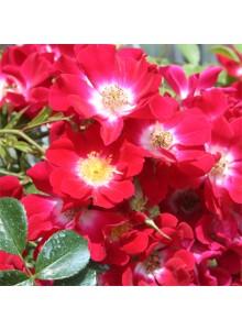 fleurs saint valentin: rosier botanique
