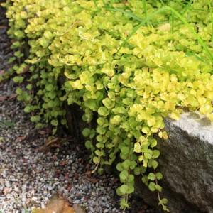 """fleurs obsèques: plante de printemps """"lysimaque"""""""