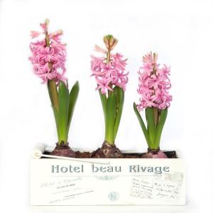 fleurs condoléances: jacinthes