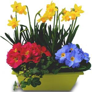 fleurs obsèques: jardinières de primevères et narcisses