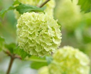 """fleurs obsèques: arbuste à fleurs de printemps """"viburnum vert"""""""