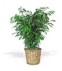 livraison fleurs plantes vertes ficus. Black Bedroom Furniture Sets. Home Design Ideas