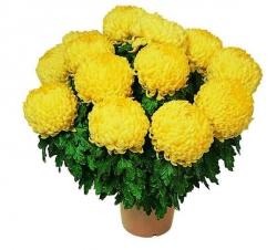 Livraison chrysanth me chrysanth me de toussaint violine - Chrysantheme entretien ...