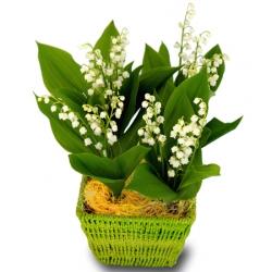 bouquet de muguet livraison muguet 1er mai floraclic. Black Bedroom Furniture Sets. Home Design Ideas