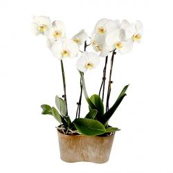 orchidee a livrer