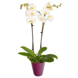 livraison fleurs orchid es floraclic. Black Bedroom Furniture Sets. Home Design Ideas