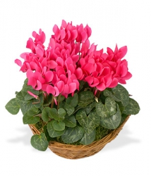 Plantes fleuries « Coupe de Cyclamens »