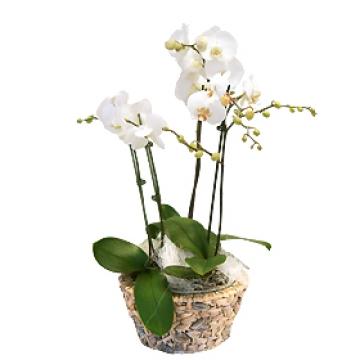 Livraison De Fleurs Fleurs Anniversaire Romance D Orchidees Par