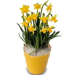 fleurs fête des grand-mères: potée de narcisses