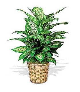 livraison fleurs plante verte dieffenbachia floraclic. Black Bedroom Furniture Sets. Home Design Ideas