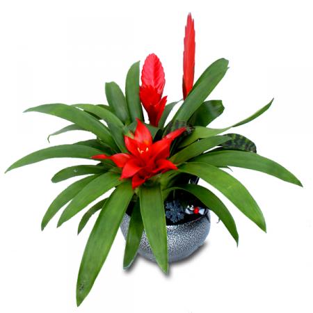 livraison fleurs de no l trio de brom lias rouges floraclic. Black Bedroom Furniture Sets. Home Design Ideas