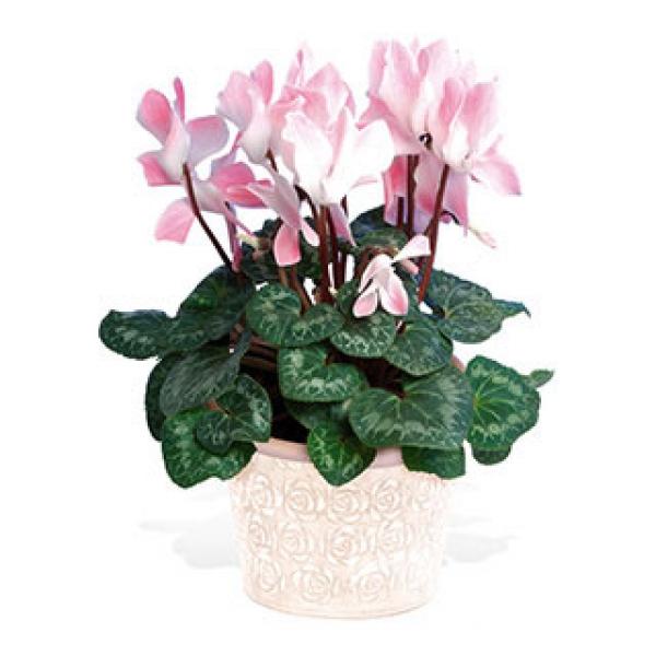 Livraison fleurs cyclamen en pot floraclic - Arrosage cyclamen en pot ...