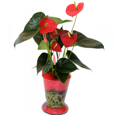 Livraison plante fleurie anthurium rouge en pot for Plante rouge de noel