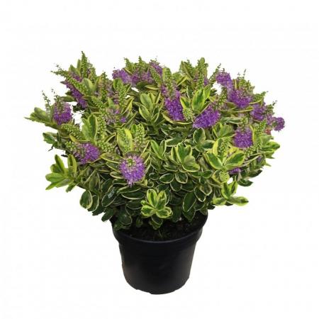 Livraison fleurs plante fleurie v ronique for Plante arbustive fleurie