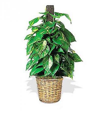 Livraison fleurs plante verte scindapsus floraclic for Soldes plantes vertes